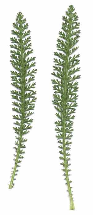 yarrow leaf